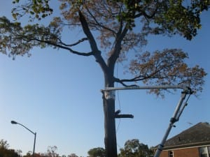 suffolk county tree pruning